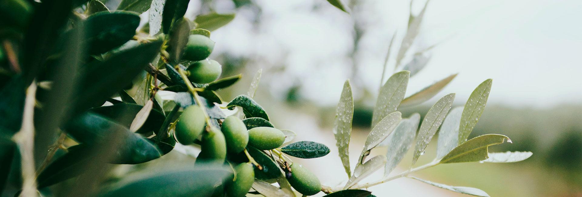 Vår egen olivolja från Kreta